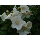 ABUTILON vitifolium 'Album'