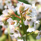 Bergenia 'Bressingham White' (elephant's ears)