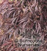 ACER palmatum dissectum 'Crimson Princess'