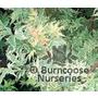 ACER palmatum 'Roseomarginatum'