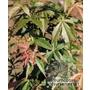 ACER palmatum 'Scolopendriifolium-tropurpureum'
