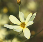 Coreopsis verticillata 'Moonbeam' (tickseed)