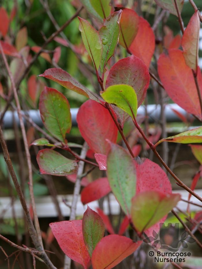 ARONIA melanocarpa 'Autumn Magic'