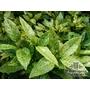 AUCUBA japonica 'Golden Spangles'