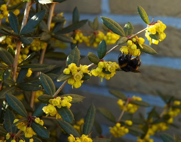 BERBERIS julianae