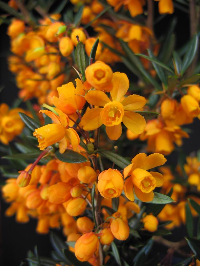 BERBERIS linearifolia 'Orange King'