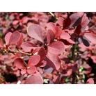 BERBERIS thunbergii 'Gold Ring'