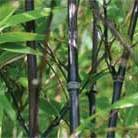 Phyllostachys nigra (black bamboo)