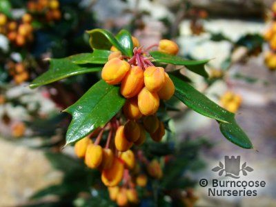BERBERIS x lologensis 'Apricot Queen'