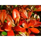 BERBERIS x media 'Park Jewel'