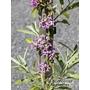 BUDDLEJA alternifolia 'Argentea'