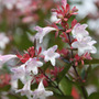 Abelia x grandiflora (abelia)