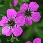 Geranium psilostemon (Armenian cranesbill)