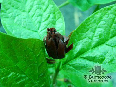 CALYCANTHUS floridus 'Purpureus'