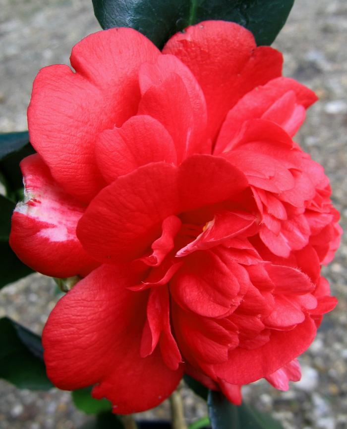 CAMELLIA 'Althaeiflora Gigantea'