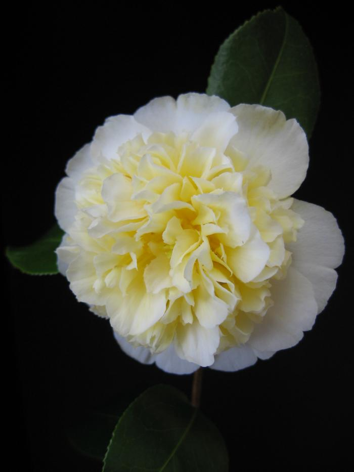 CAMELLIA 'Brushfield's Yellow'
