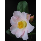 CAMELLIA 'Citation'