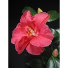 CAMELLIA 'Diamond Head'