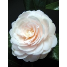 CAMELLIA 'Eleanor Hapgood'