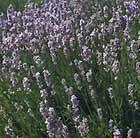 Lavandula angustifolia 'Rosea' (lavender)