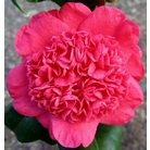 CAMELLIA 'Jingle Bells'