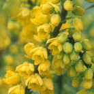 Mahonia x media 'Winter Sun' (mahonia)