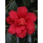 CAMELLIA 'Red Dahlia'