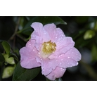 CAMELLIA 'Rosemary Williams'