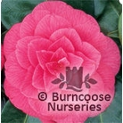 CAMELLIA 'Rubescens Major'