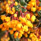 Berberis darwinii (Darwin's barberry)