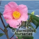 CAMELLIA 'Strawberry Swirl'