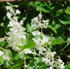 Fallopia baldschuanica (Russian vine)
