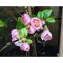 CHAENOMELES x superba 'Pink Lady'