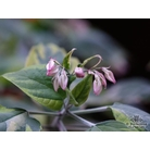 CLERODENDRUM trichotomum 'Carnival'