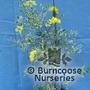 CORONILLA valentina subsp glauca 'Variegata'