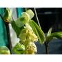 CORYLOPSIS glabrescens 'Cholipo'