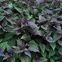 Ageratina altissima 'Chocolate?? (white snakeroot (syn. Eupatorium))