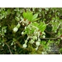 ENKIANTHUS campanulatus albiflorus