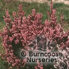 HEATHERS Erica erigena 'Irish Dusk'
