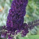 Buddleja davidii 'Black Knight' (butterfly bush)