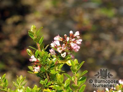ESCALLONIA 'Apple Blossom'