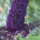 Buddleja davidii 'Black Knight' (butterfly bush)