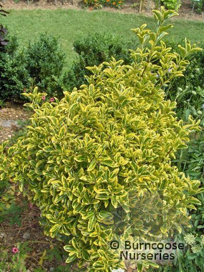 EUONYMUS japonicus 'Albo marginatus'