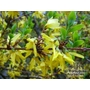 FORSYTHIA x intermedia 'Lynwood' 