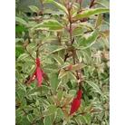 FUCHSIA magellanica 'Variegata'