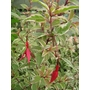FUCHSIA magellanica 'Variegata' 