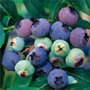 blueberry 'Bluecrop' (blueberry    mid season fruiting)
