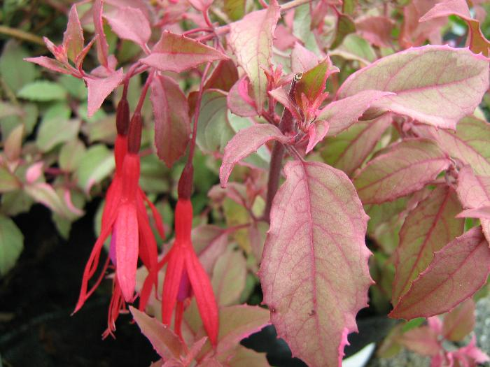 FUCHSIA magellanica 'Versicolor' 