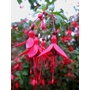 FUCHSIA 'Riccartonii'