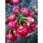 GAULTHERIA mucronata 'Bells Seedling'
